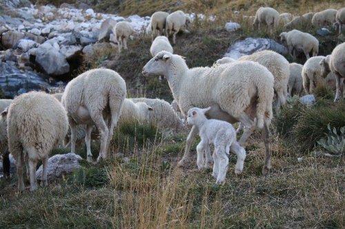 Uludağ'da Koyunların Zirve Kampı Sona Erdi