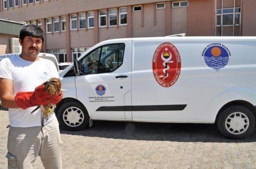 Yaralı Şahinin İmdadına Veteriner, Hayvan Ambulansı İle Yetişti