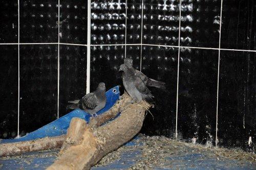 'Yavru Güvercinleri' Sevgiyle Büyüttüler