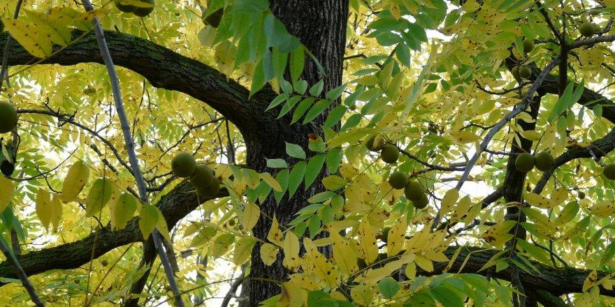 Çıldır'ın 'Anıt' Ağaçları